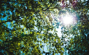 Picture leaves, the sun, macro, rays, nature, birch