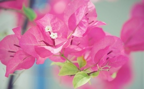 Picture flowers, pink, macro, bougainvillea