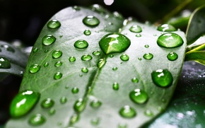Picture leaves, drops, macro, sheet, green, Rosa