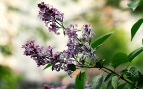 Picture leaves, flowers, flowering, lilac