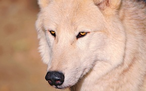Picture white, eyes, wolf, nose