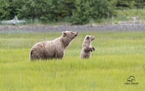 Picture bears, Alaska, meadow, bear, Alaska, cub, bear, Lake Clark National Park