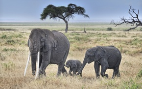 Picture field, tree, elephants, wildlife, Tusk