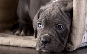 Picture look, face, puppy, cane Corso