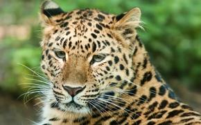 Picture cat, mustache, look, face, predator, leopard, peace