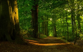 Picture forest, the sun, light, trees, foliage, path