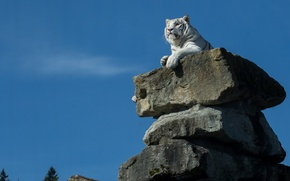 Picture tiger, stones, white tiger, the throne, look away, sitting high