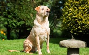 Picture grass, dog, Labrador, dog