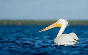 Wallpaper sea, water, wildlife, pelican