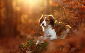 Wallpaper dog, Kooikerhondje, autumn, leaves