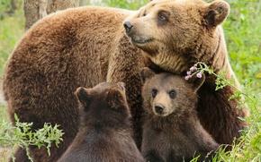 Picture bears, bears, bear, cubs