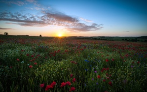 Wallpaper field, the sky, the sun, clouds, flowers, England, Maki, chamomile, UK, England, Great Britain, Hertfordshire, ...