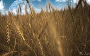 Picture field, rye, planet, spikelets, cereals