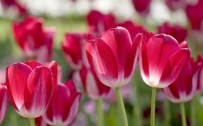 Picture petals, blur, tulips, pink