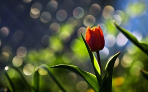 Picture flower, macro, background, Tulip