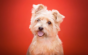 Wallpaper language, background, Yorkshire Terrier, look, dog