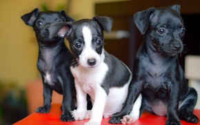 Wallpaper Trinity, trio, dogs, puppies