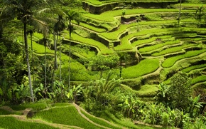 Wallpaper rice crops, planting, green mountains