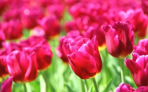 Picture flowers, nature, background, pink, Wallpaper, beautiful, flowers, widescreen, full screen, HD wallpapers