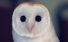 Picture bird, Owl, bird, the barn owl, owlet, sovushka