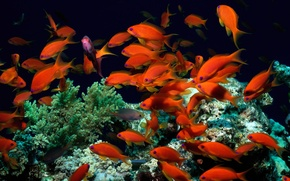 Wallpaper fish, algae, the world, corals, red, underwater