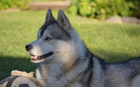 Picture dog, Animals, Siberian husky, Husky