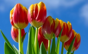 Picture the sky, tulips, red - yellow
