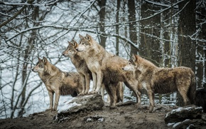 Picture nature, pack, wolves