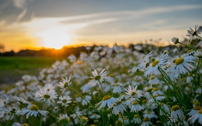 Picture sunset, flowers, chamomile