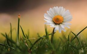 Picture macro, grass, Daisy