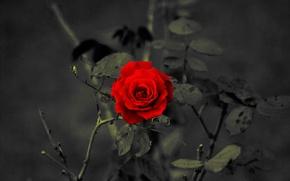 Wallpaper red, petals, rose
