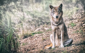 Picture nature, wolf, GJ-Vernon