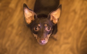 Picture dog, muzzle, the toy Terrier