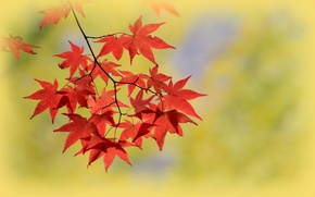 Picture autumn, leaves, macro, branch, maple