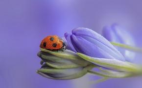 Picture flowers, ladybug, buds, lilac, bokeh, drops of dew