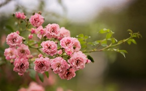 Picture flowers, nature, Bush, roses, branch, pink