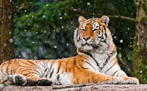 Picture winter, forest, face, snow, tiger, background, stone, lies, looks, falls, a large striped cat, Panthera …