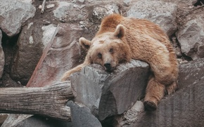 Picture animal, bear, bear, animals, zoo, brown, zoo