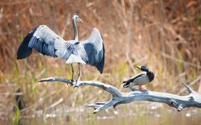 Wallpaper fight, Heron, grey, branch, lake, reed, duck