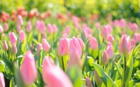 Wallpaper flowers, pink field, light, spring, glare, tulips