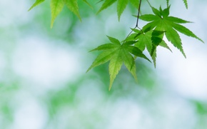 Picture leaves, green, maple