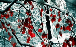 Picture snow, trees, branch, red leaves