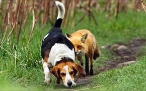 Picture pair, hunting, fox, animals, dog, two, Fox, joke, joke, hunting, sabaki