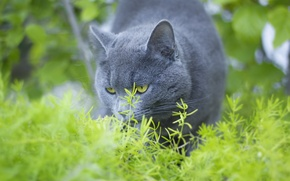 Picture summer, eyes, cat, blue, Russian