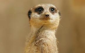 Picture sand, look, Meerkat