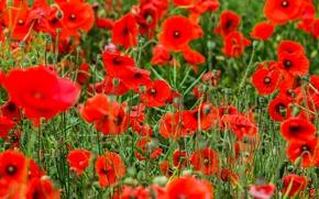 Picture field, summer, nature, Maki, petals, meadow