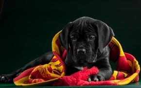 Picture cane Corso, puppy, fabric, black
