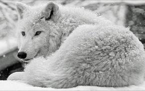 Picture snow, wolf, Animals