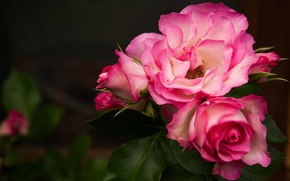 Picture macro, background, roses, petals, buds