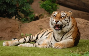 Picture stay, lawn, Tigress, irritation, demonstration of dissatisfaction